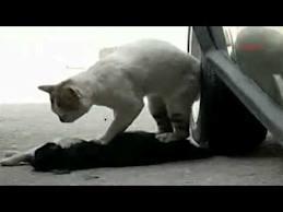 kucing kayong
