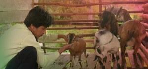 rutinitas sore hari ternak kambing kayong utara dinas peternakan kku perikanan kku