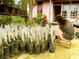 Budiman dan anaknya sedang melakukan penyambungan durian montong