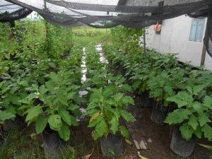 Tanaman sayur-sayur Budiman di Perkarangan rumahnya